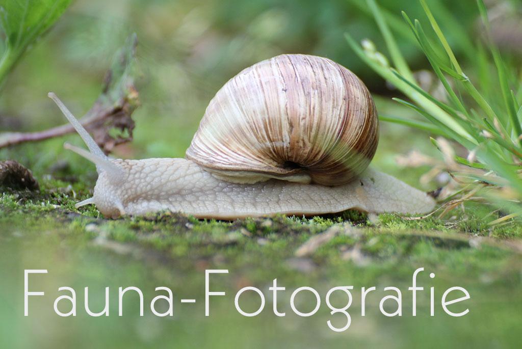Bestellnummer: MF028  |  Fauna – Weinbergschnecke © [:picart]by godot-plus, Eva Lenzenhuber