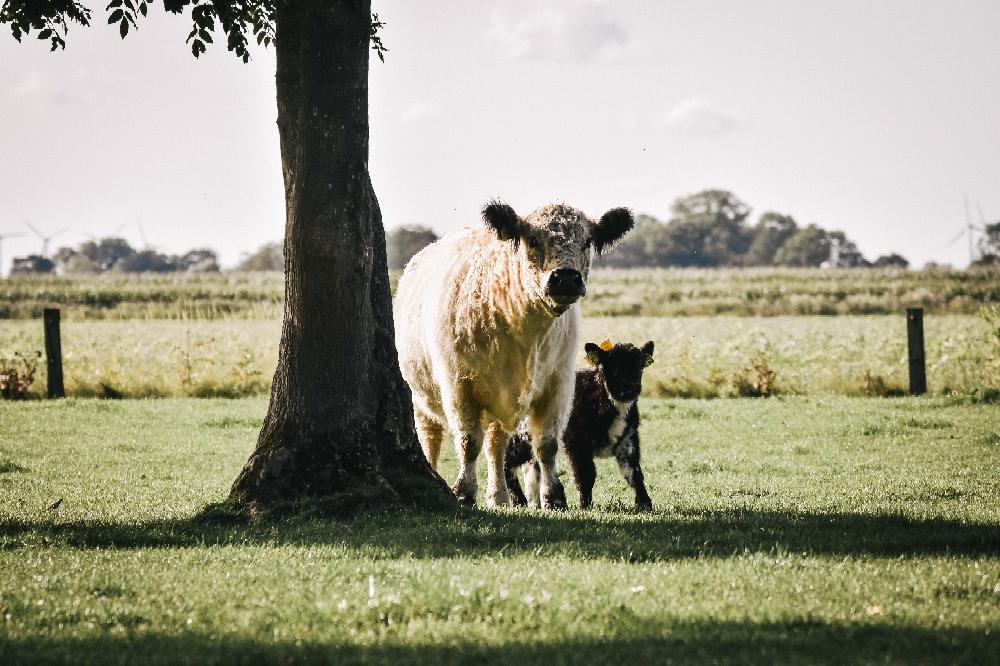 Artgerechte Mutterkuhhaltung bei den Rindern von Plate Galloway