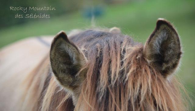 oreilles de rocky mountain horses, ears, audition, écouter, comportement