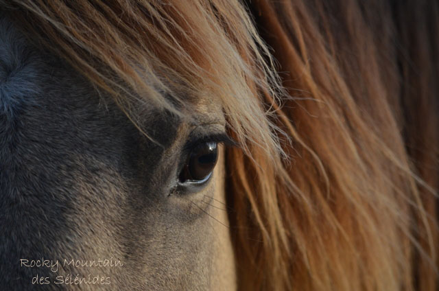 rocky mountain horses yeux oeil regard photographie images