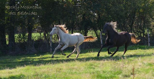calvacade, rocky mountain horse, galop, course, trot