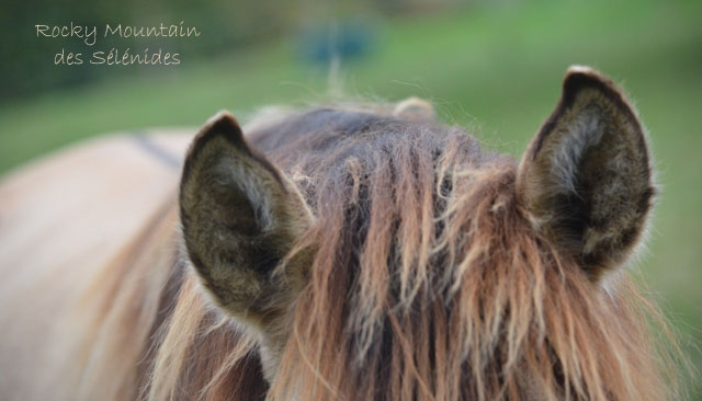 oreilles de rocky mountain horses, ears, audition, écouter, comportement