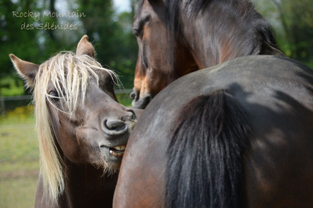 cheval, chevaux, toiletage mutuel grooming, rocky mountain horse