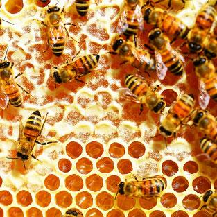 Honigwabe mit zum Teil Verdeckelten Zellen