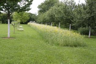 Die Bienenweide steht nach 16 Tagen in voller Blüte.