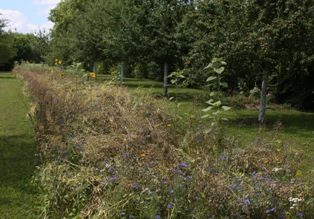Die ersten Blumen sind verblüht, andere sind herangewachsen   -   Foto vom 31.07.2010