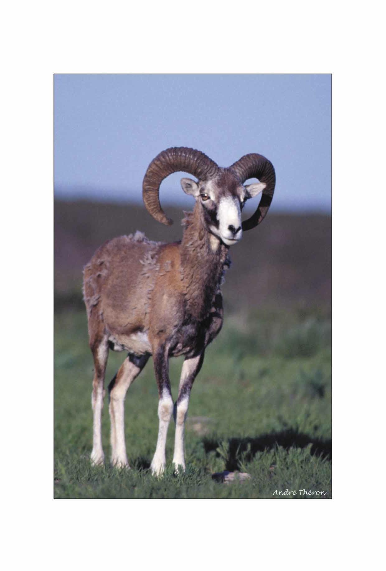 Mouflon sur le plateau