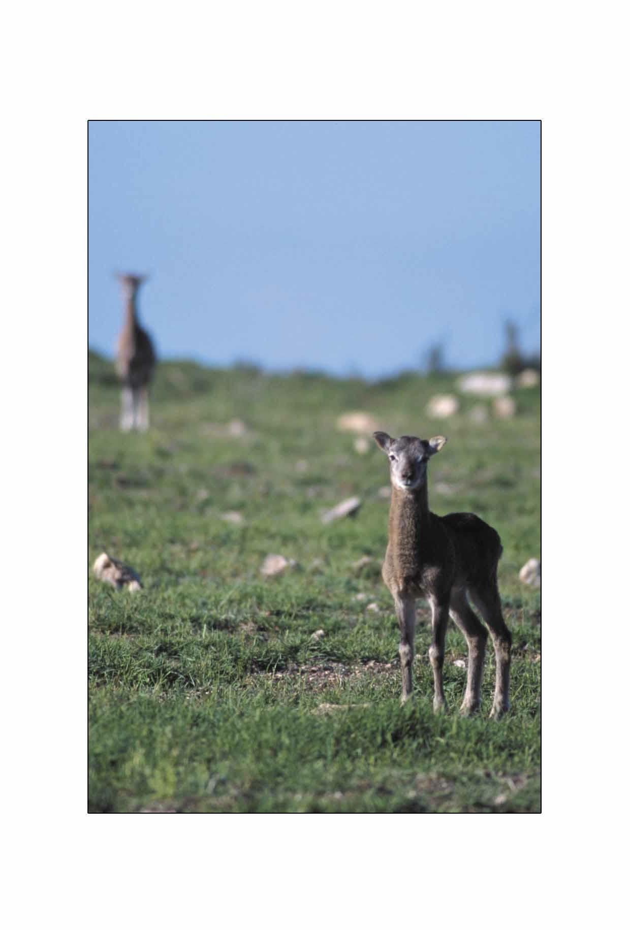 Petit mouflon sur le plateau