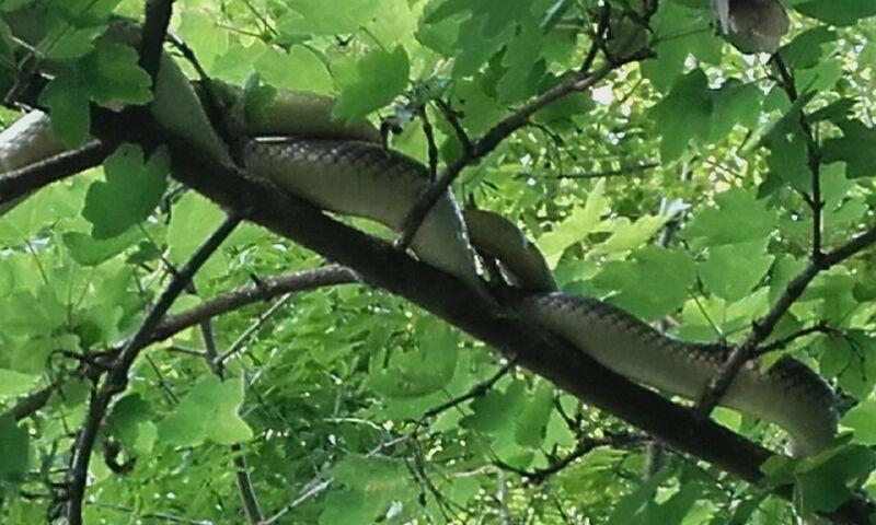 Une couleuvre d'esculape dans un arbre (France Loire Atlantique)