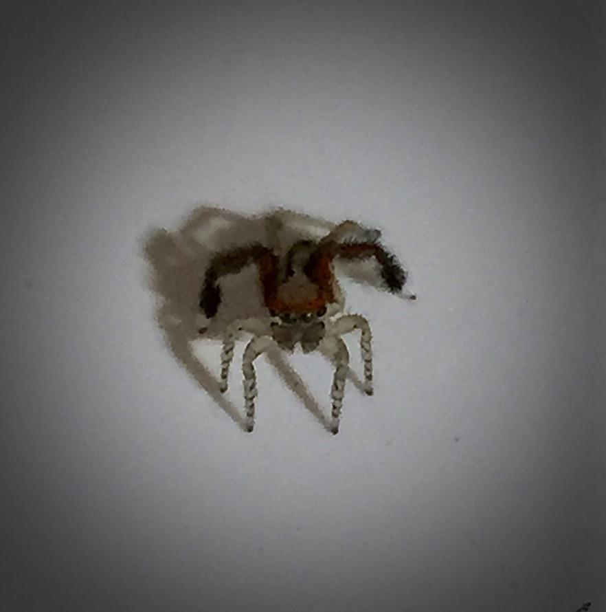Saitis barbipes mâle (ariagnée dans ma maison, 4mm).Notez les yeux verts et les belles couleurs sur l'abdomen.