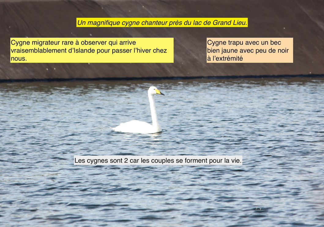 Cygne chanteur (Lac de Grand Lieu)