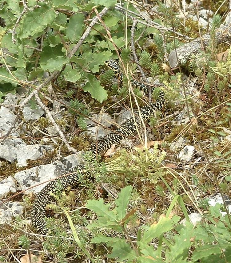 Couleuvre verte et jaune (plus de 1m de long) morsure très douloureuse mais non venimeuse. Sud de la France.