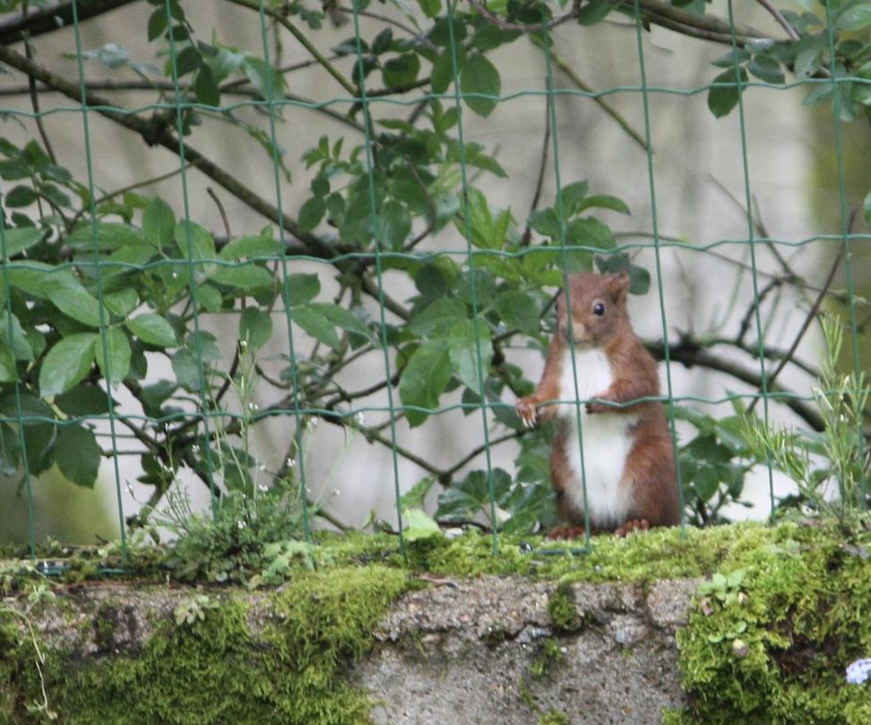 Ecureuil roux qui veut entrer dans mon jardin.