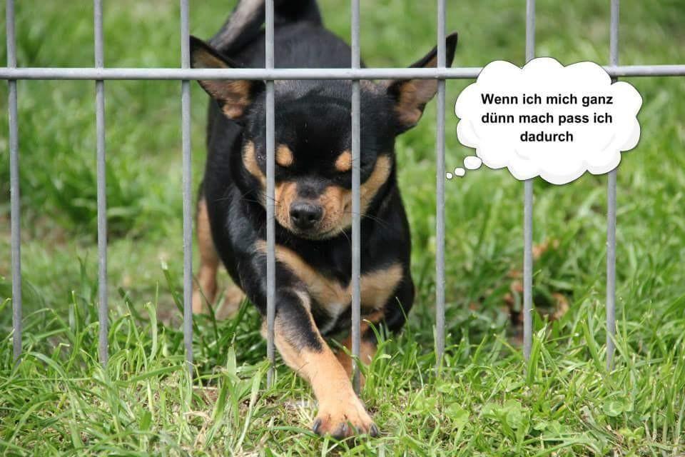 Chi-Love.de präsentiert: Chihuahuas von den kleinen Piraten. Heute: Terry hinter Gittern