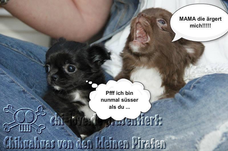 """Piraten-Cartoon auf Chi-Love.de präsentiert: Chihuahuas von den kleinen Piraten """"Mama, die ärgert mich!"""""""
