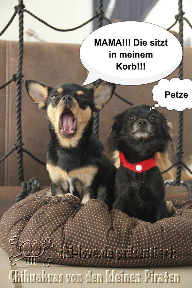 """Piraten-Cartoon auf Chi-Love.de präsentiert: Chihuahuas von den kleinen Piraten """"Petze"""""""