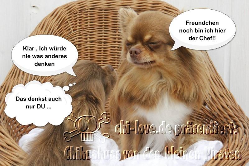 """Piraten-Cartoon auf Chi-Love.de präsentiert: Chihuahuas von den kleinen Piraten """"Wer ist hier der Boss?"""""""