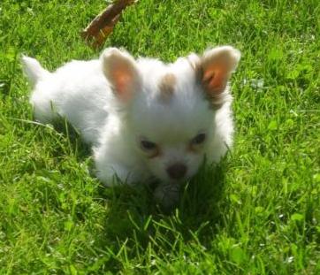 Chi-Love.de | Swiffer Chihuahua | Ein Welpe zieht ein | Swiffers kleine Schwester