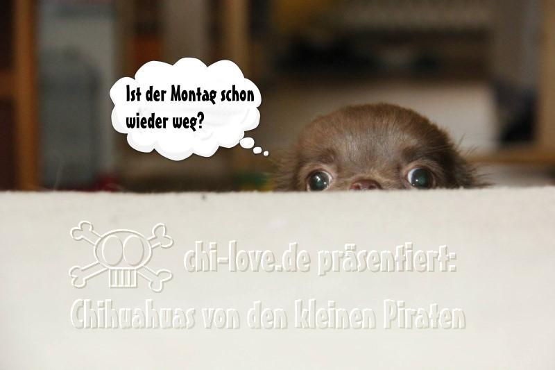 """Piraten-Cartoon auf Chi-Love.de präsentiert: Chihuahuas von den kleinen Piraten """"Ist der Montag schon wieder weg?"""""""