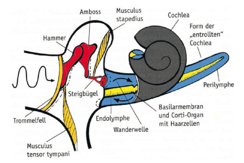 Fig. 1. Middle ear muscles and transmission of sound waves to the inner ear and hair cells.