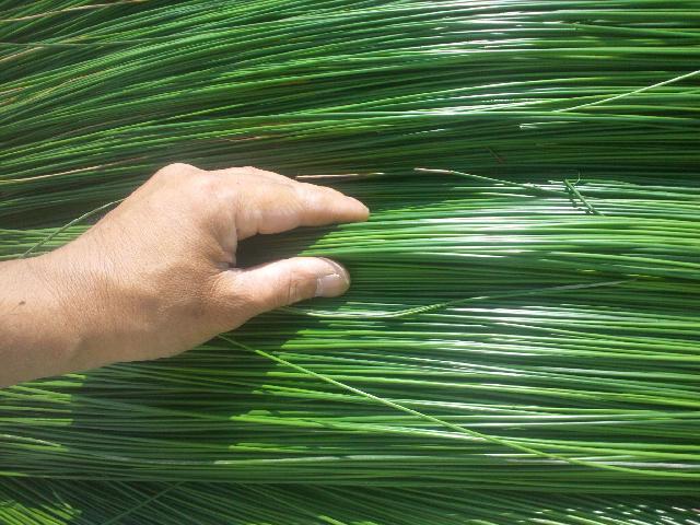 刈り取り直後の艶々の『イ草』
