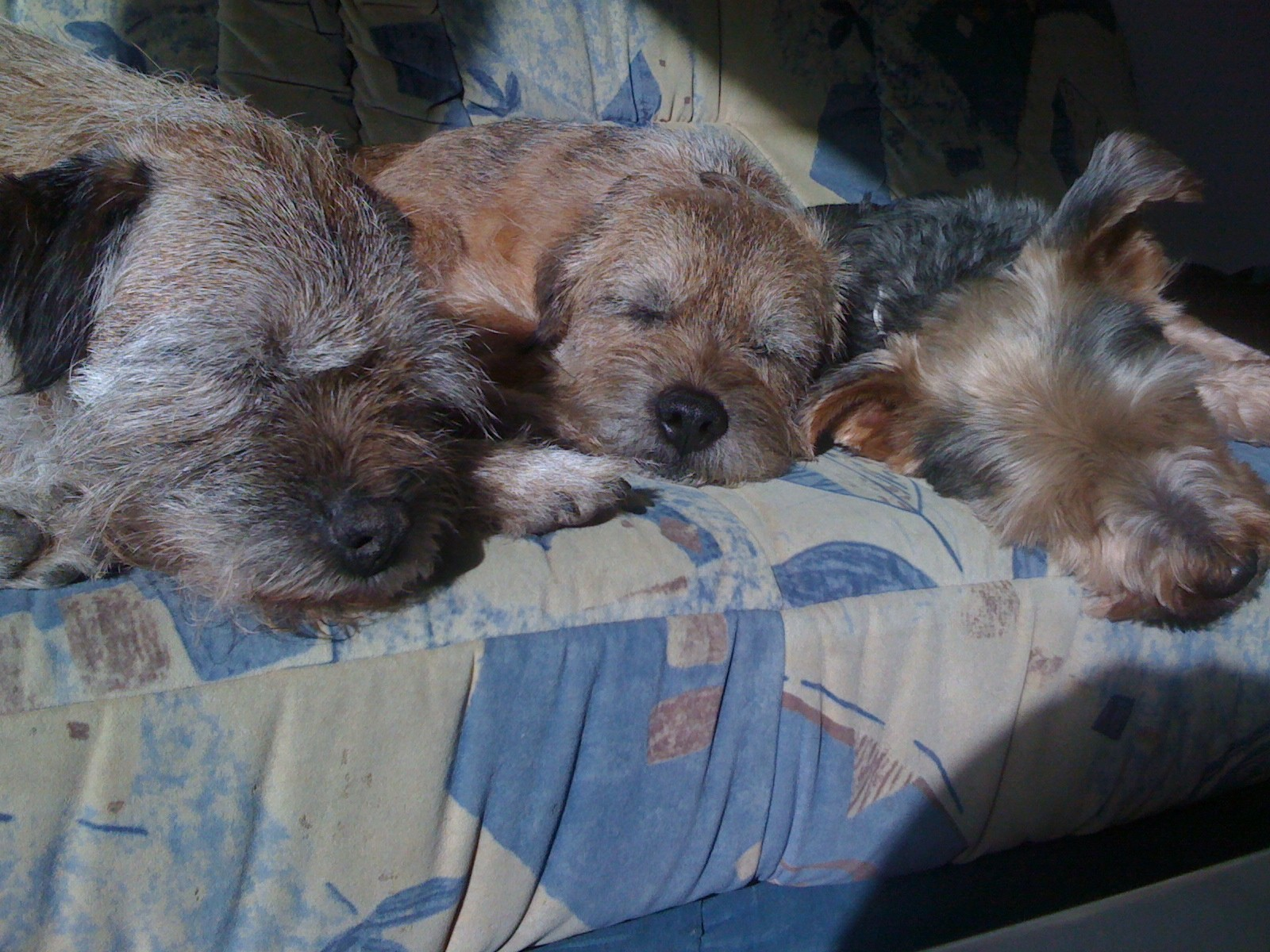 drei Terrier