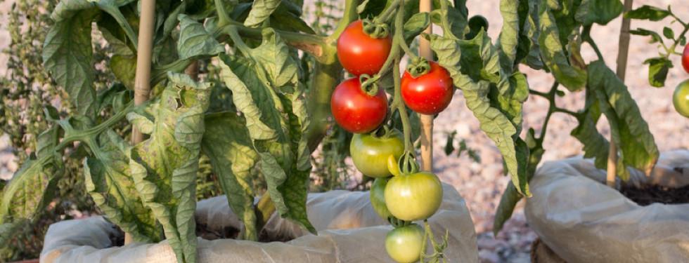 Tomaten in Pflanzsäcken