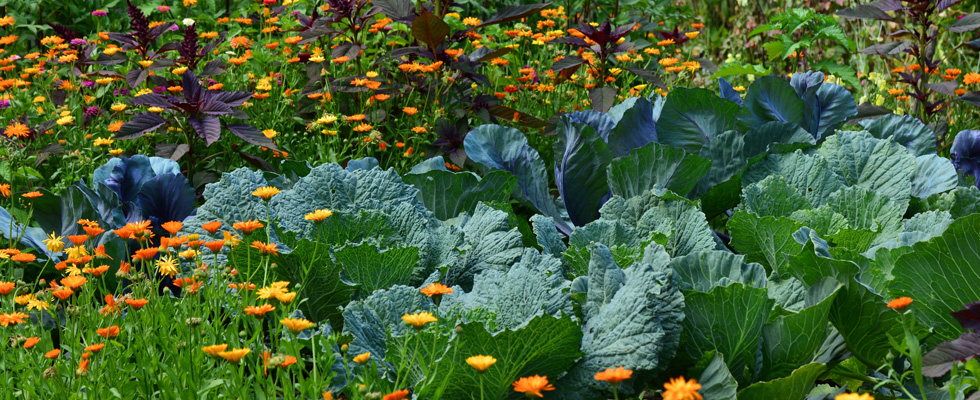 Biologisches Saatgut für den Bauerngarten, alte und bewährte Gemüsesorten für einen guten Geschmack bei www.the-golden-rabbit.de