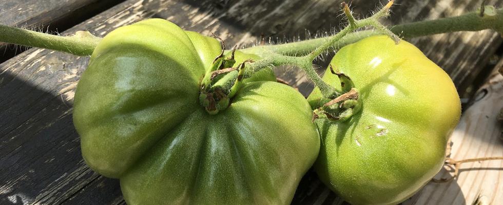 Alte Tomatensorten von Ferme de Saint Marthe bei www.th-golden-rabbit.de
