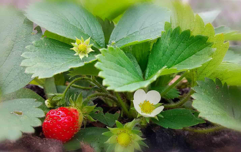 Erdbeeren in Bioqualität