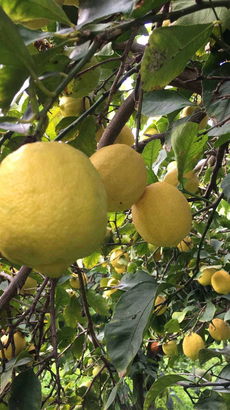 vendita-online-limoni-di-sicilia-palagonia