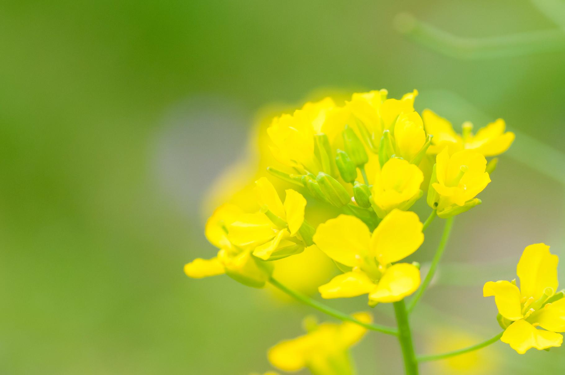 菜の花 ちょい甘ピン
