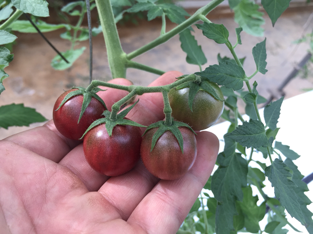 トスカーナバイオレット(紫色のミニトマト)