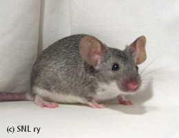 souris chinchilla