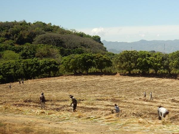 ... und viele Gastarbeiter aus Nicaragua, welche die Felder bearbeiten