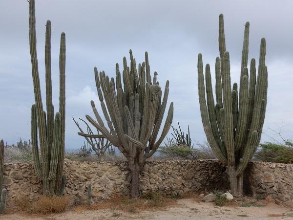 Hohe Kaktusse prägen das Landschaftbild