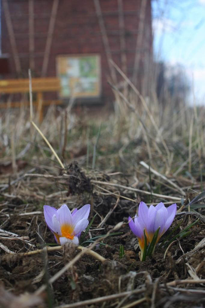 Es wird Frühling am Lehrpfad: Die im letzten Herbst gesetzten Frühblüher zeigen sich langsam...
