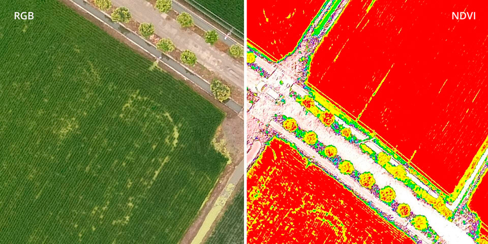 DJI P4 Multiespectral - RGB vs NDVI