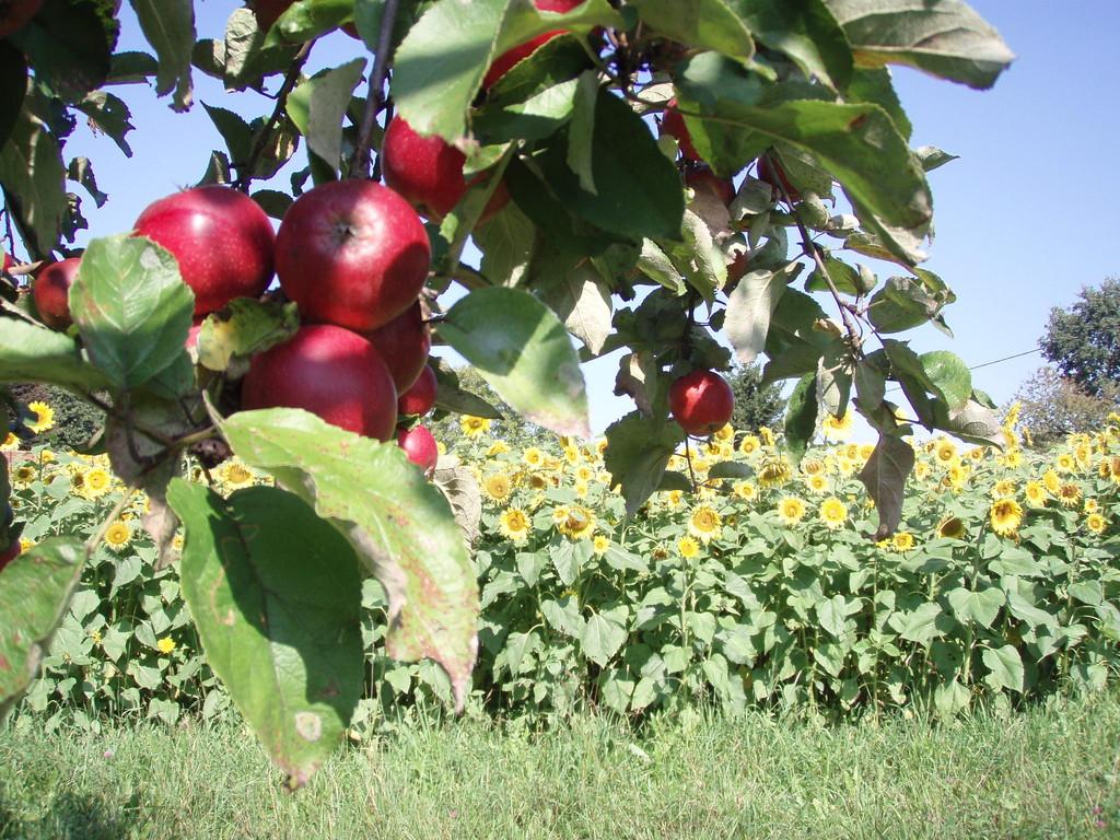 die Apfelernte steht an
