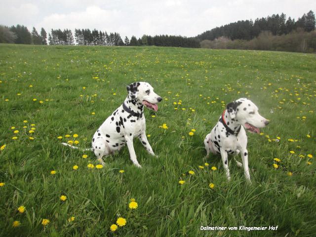 Herzlich willkommen bei den Dalmatinern vom Klingemeier Hof