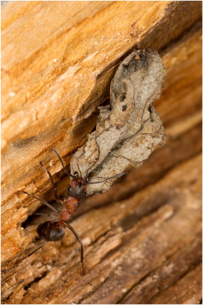 Ameise trägt ein Blatt