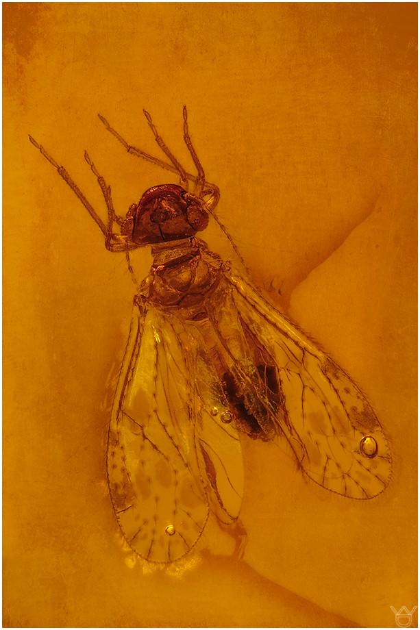600. Psocoptera, Staublaus, Philotarsidae, Dominican Amber