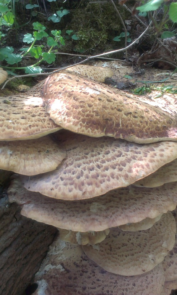 Dryad's Saddle, young ones taste best