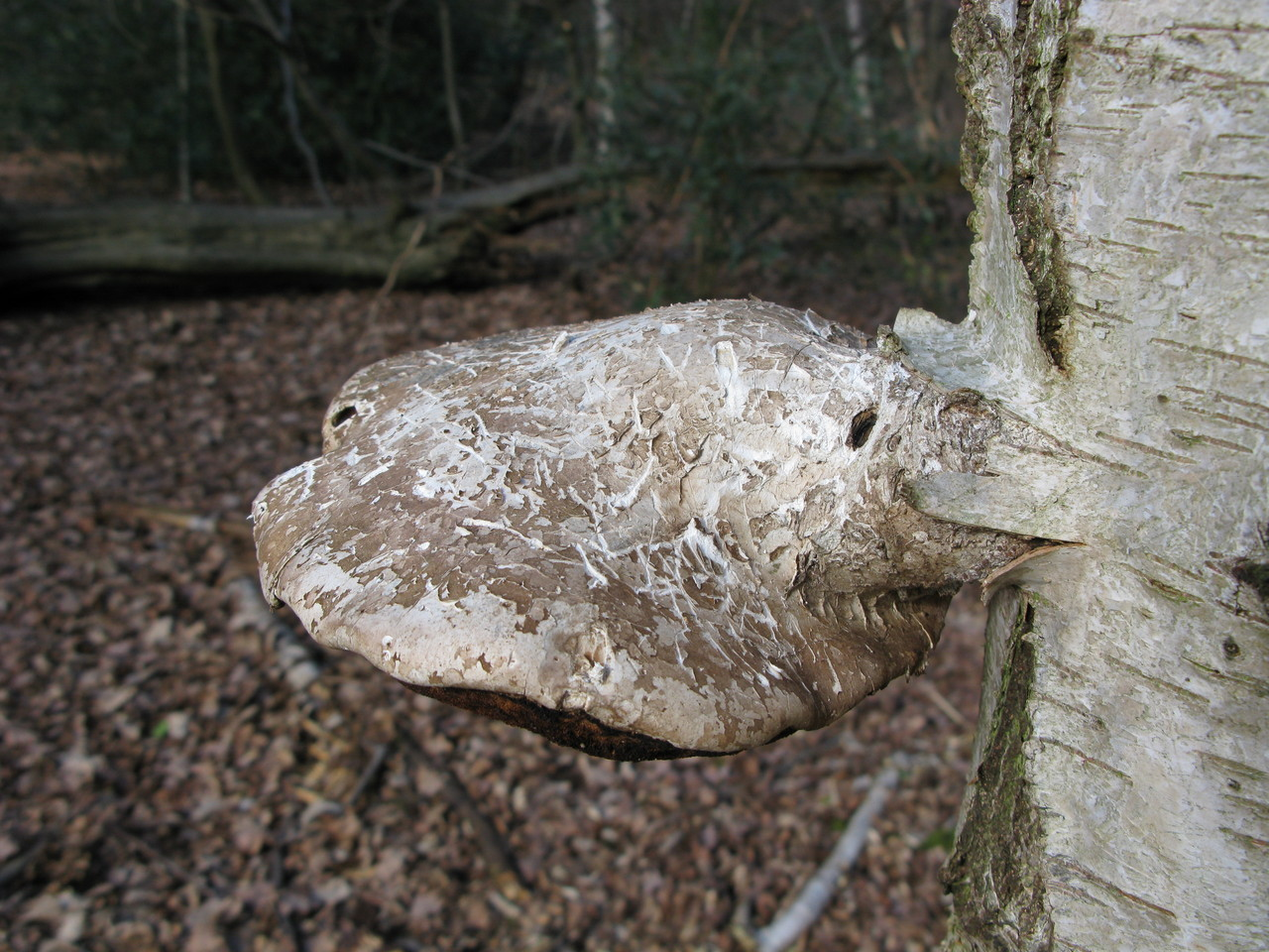 Birch Polypore, good for keep your blades sharp