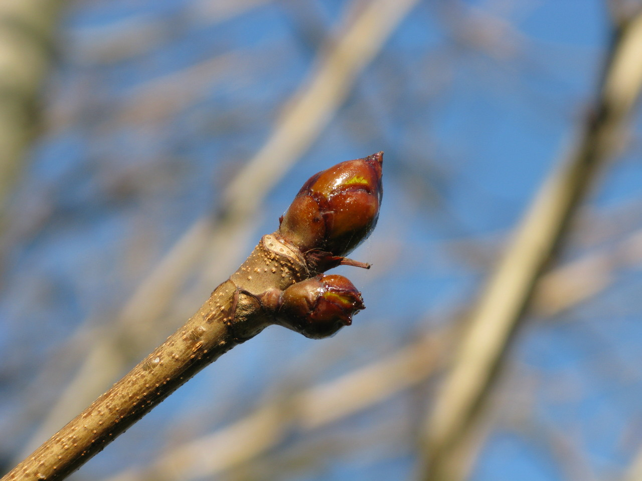 Sweet Chestnut bud, very sticky