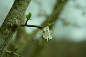 Fleur de myrobolan - jardin association Terres à Vivre
