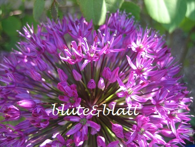 Allium_Purple_Sensation . Riesenlauch