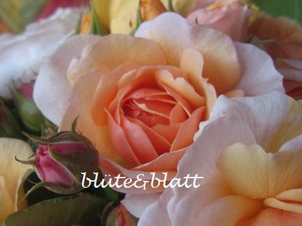 Englische_Rose