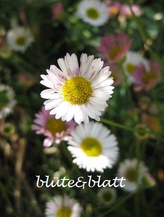 Erigeron_Blütenmeer . Spanisches_Gänseblümchen