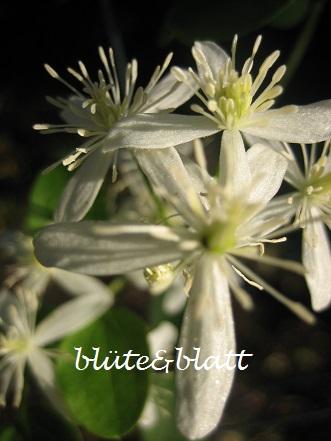 Clematis_terniflora . Rispenblütige_Waldrebe